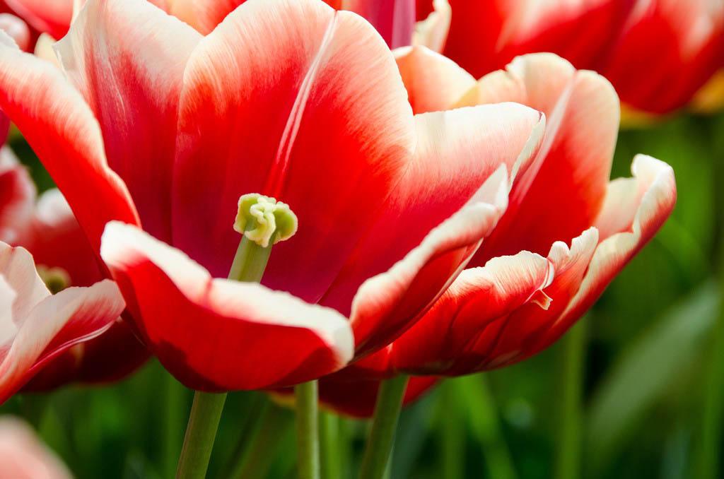 El Fotón 2015, Categoría Flora. Quinto Puesto. Alicia Ortego Martínez . Holanda - Rojo - Tomada en Keukenhof el 18/04/2015