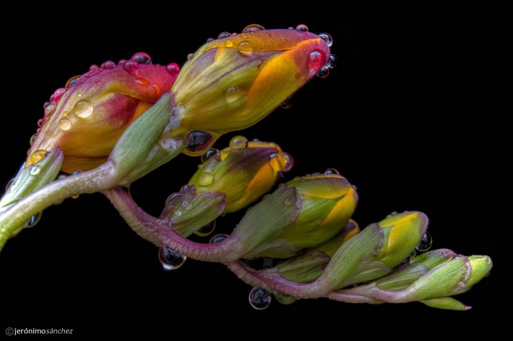 El Fotón 2015, Categoría Flora. Tercer Puesto. Jerónimo Sánchez López. España - Gotas de lluvia que al caer... - Tomada en Sant Quirze del Vallès el 30/03/15