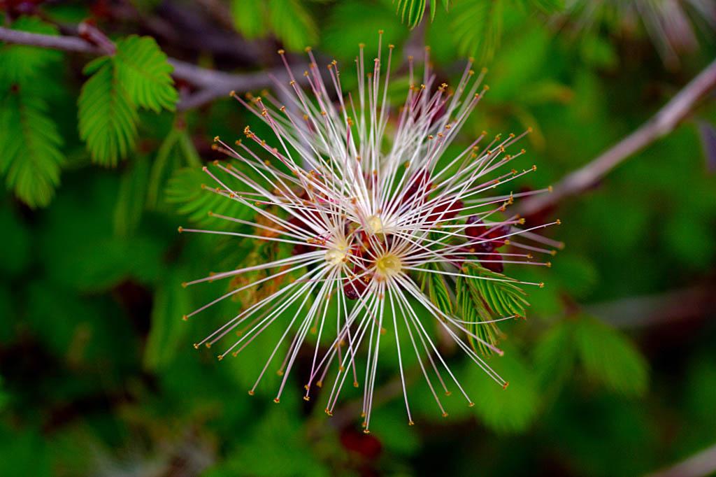 El Fotón 2015, Categoría Flora. Sexto Puesto. Leonardo Cardoso. México - Flor de estrella - Tomada en Santiago de Queretaro, Queretaro el 11/04/15